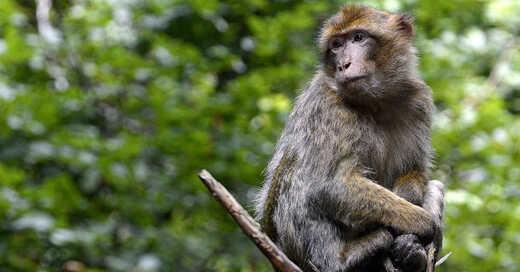 Berberaffe, Zoo, Tiergehege, Tatzmania, © Pixabay (Symbolbild)