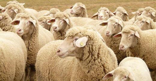 Schafe, Schafherde, Wolle, Nutztiere, Landwirtschaft, © Pixabay (Symbolbild)