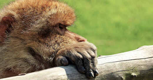 Berberaffe, Affe, Tierpark, Zoo, Gehege, © Pixabay (Symbolbild)