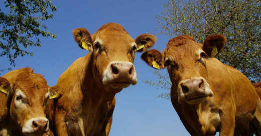 Rinder, Kuh, Kühe, Herde, Weide, © Pixabay (Symbolbild)