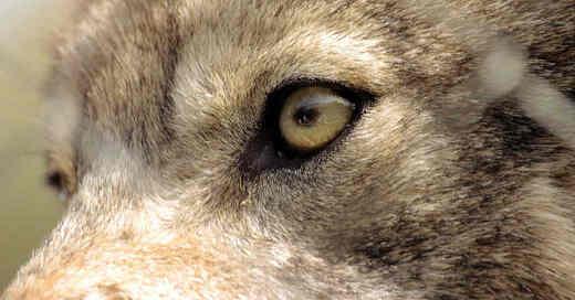 Wolf, Augen, Raubtier, Wölfe, Rudel, © Pixabay (Symbolbild)