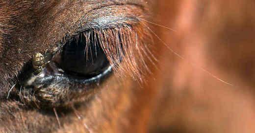 Pferd, Pony, Auge, Pferdebremse, Parasit, Insekt, © Pixabay (Symbolbild)
