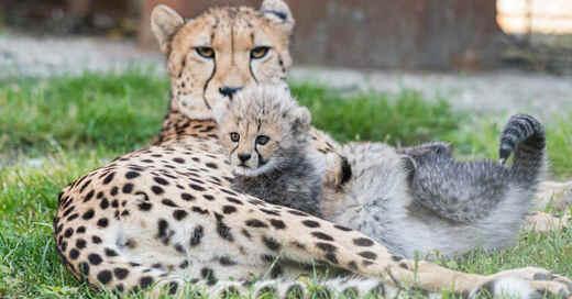 Geparden, Nachwuchs, Zoo, Basel, Zolli, © Zoo Basel