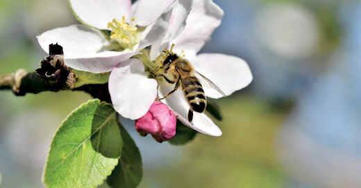 Biene, Apfelbaum, Blüte, Pollen, Obst, Streuobstwiese, © Pixabay (Symbolbild)