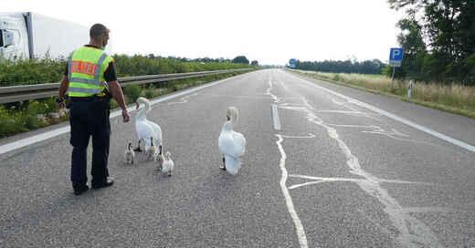 Schwan, Schwäne, Küken, A5, Autobahn, Hartheim, Polizei, Rettung, © Polizeipräsidium Freiburg