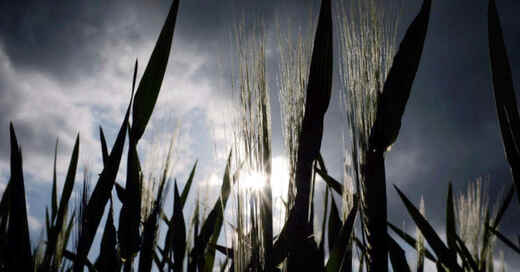Landwirtschaft, Gerste, Getreide, Feld, Acker, Ernte, © Martin Gerten - dpa