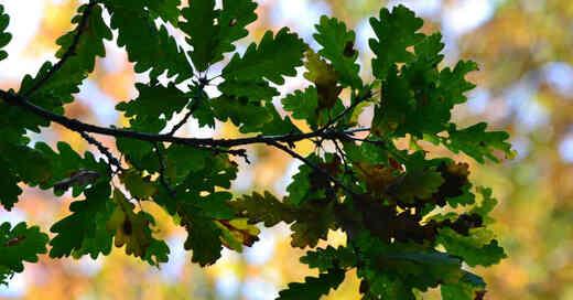 Eichen, Wald, Bäume, Baum, Natur, Pflanzen, © Pixabay (Symbolbild)