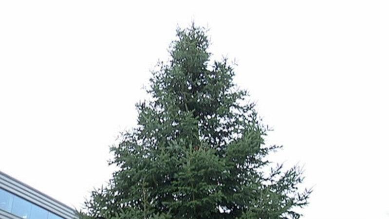 Lisas Erster Weihnachtsbaum.Straßburg Erster Riesen Weihnachtsbaum Steht Baden Fm