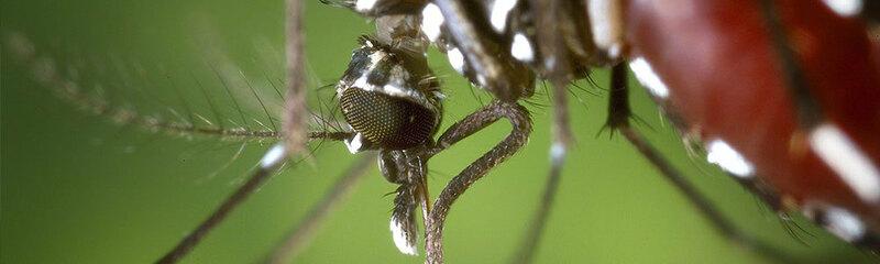 Tigermücke, KABS, Stechmücke, Artur Jöst, Insektenabwehr, © Pixabay