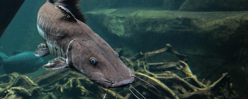 Wels, Wasser, Fisch, © Pixabay (Symbolbild)