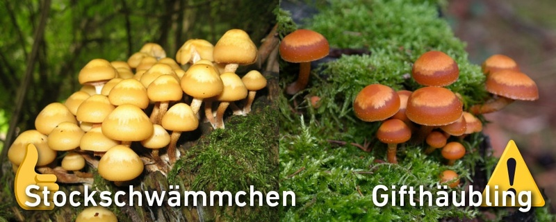 Pilze, Gifthäubling, Stockschwämmchen, © Pixabay (Symbolbild)
