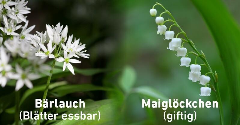 Bärlauch, Pflanze, Wald, © Pixabay