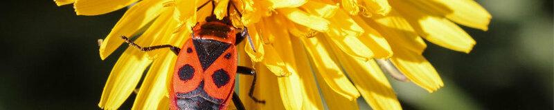 Feuerwanze, Insekt, Löwenzahn, © Pixabay (Symbolbild)