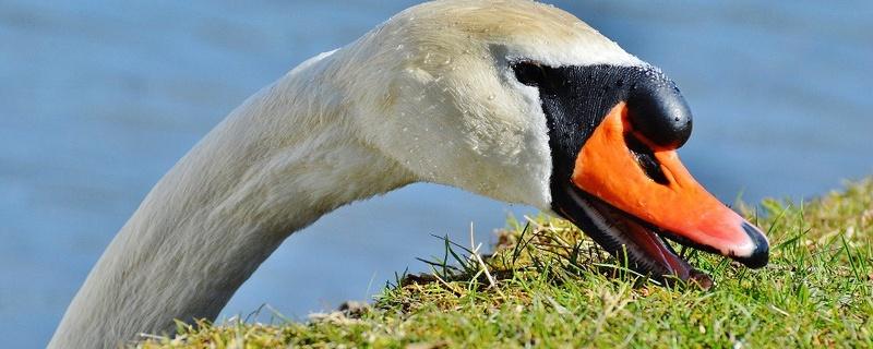 Schwan, Wasservogel, © Pixabay
