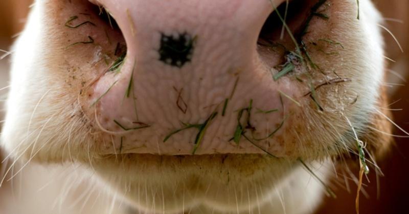 Maul, Kuh, Rind, © Sven Hoppe - dpa