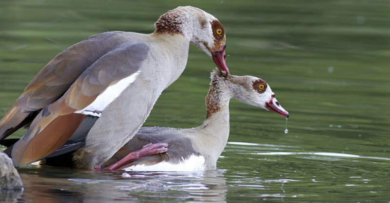 Nilgans, Plage, Vögel, © pixabay