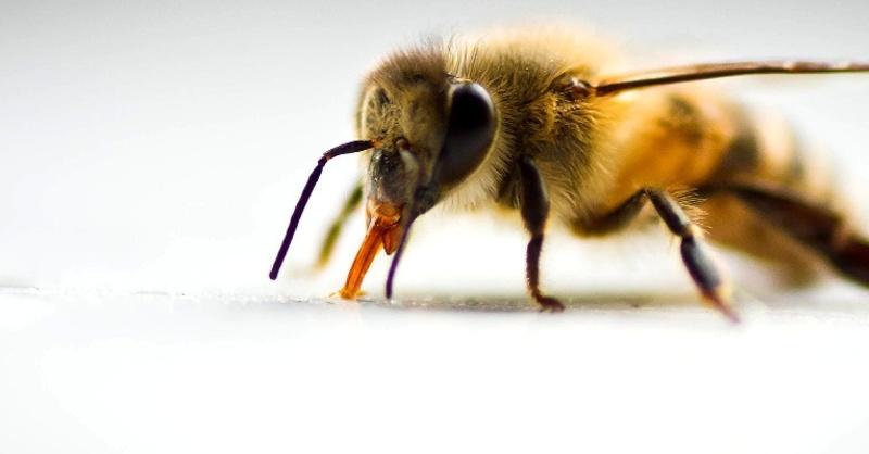 Insekt, Biene, Honig, Imker, © Pixabay