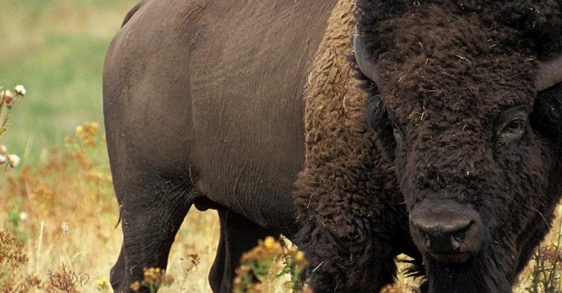 Bison, Wildtier, Rind, © Pixabay