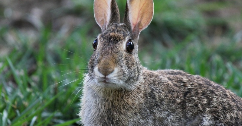 Kaninchen, Hase, © Pixabay