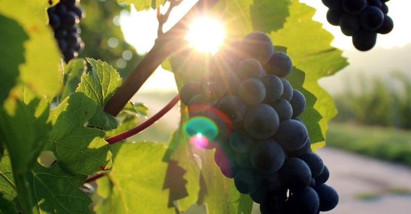 Weintrauben, Winzer, Weinlese, © Pixabay