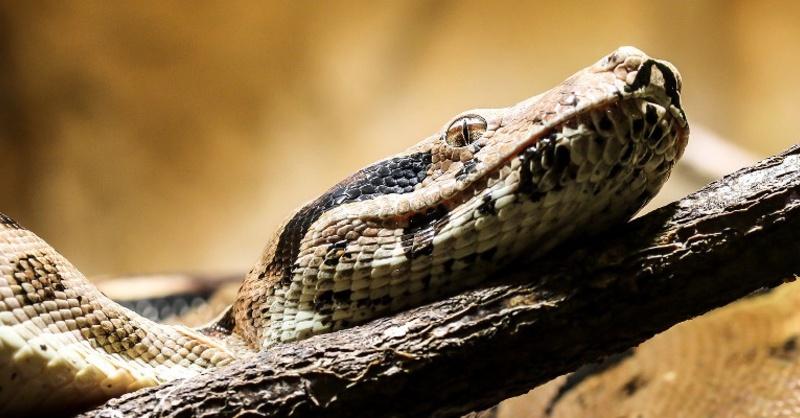 Würgeschlange, Schlange, Boa Constrictor, © Pixabay