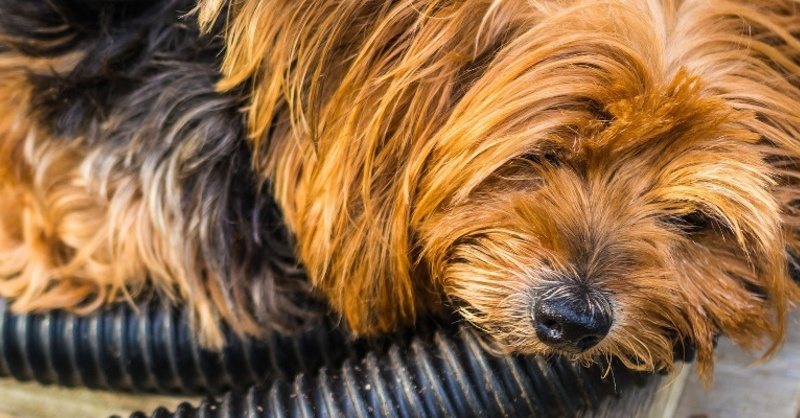 Yorlshire Terrier, Hund, © Pixabay