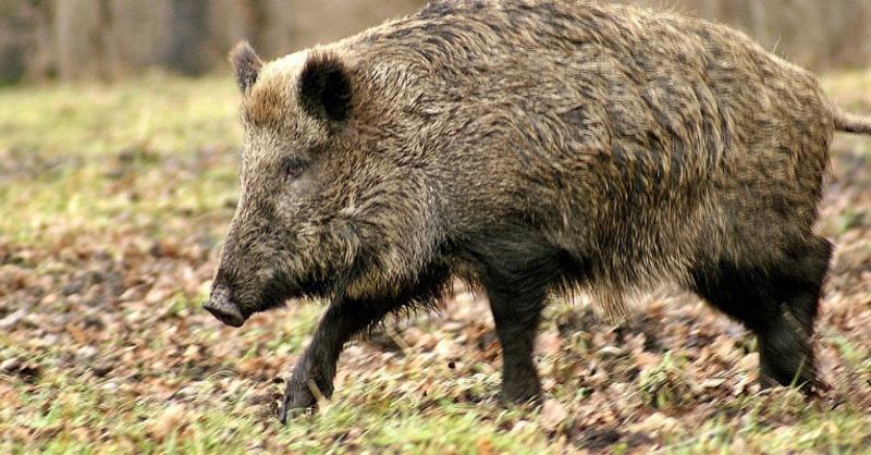 Wildschwein, Sau, Eber, © Pixabay