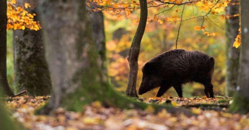 Wildschwein, Sau, Wald, © Lino Mirgeler - dpa