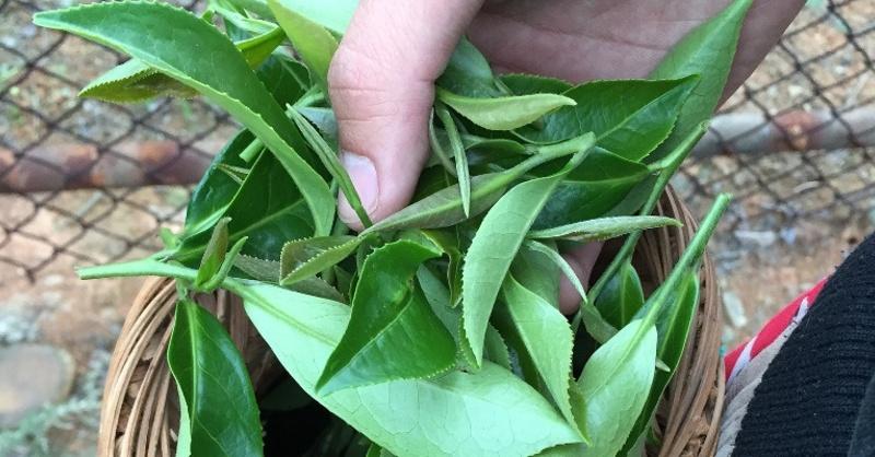 Tee, Pflanze, Blätter, © Pixabay