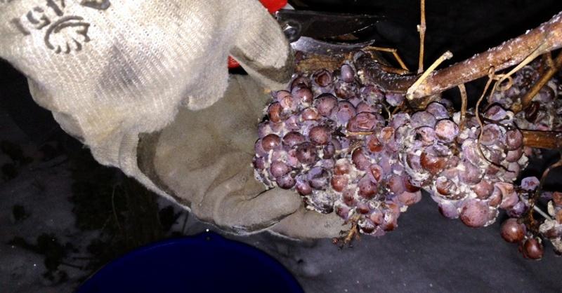 Eiswein, Weinlese, Weintrauben, © Badischer Winzerkeller eG