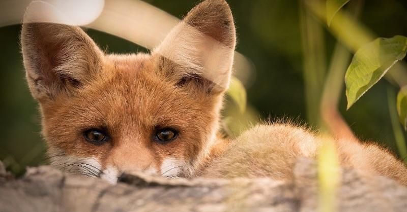 Fuchs, Füchse, Wild, Tier, © Pixabay