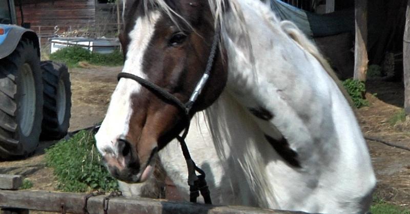 Pferd, Tier, Pferdeschänder, © baden.fm