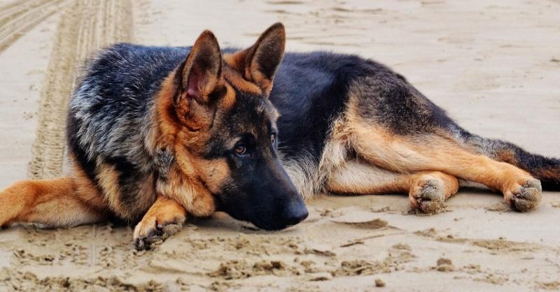 Schäferhund, Hund, Tier, © Pixabay (Symbolbild)