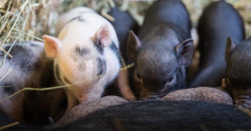Ferkel, Minipig, Schweinchen, © Zoo Basel