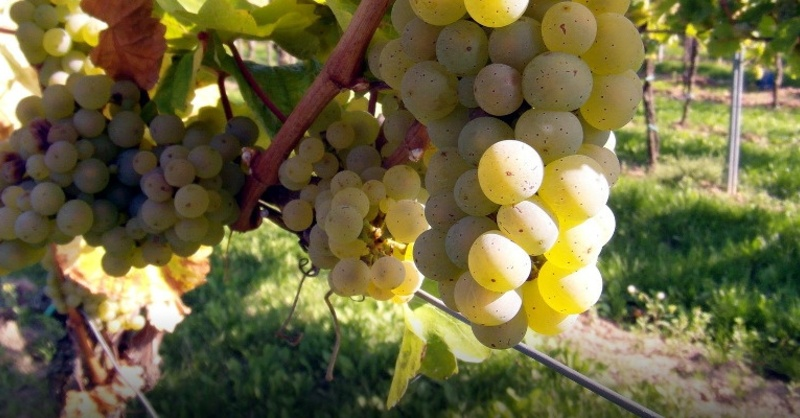 Wein, Winzer, Trauben, Reben, © Pixabay