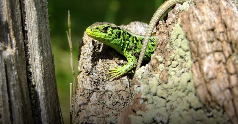 Zauneidechse, Eidechse, Reptilien, © Pixabay (Symbolbild)