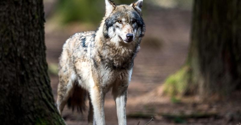 Wolf, © Alexander Heindl - dpa