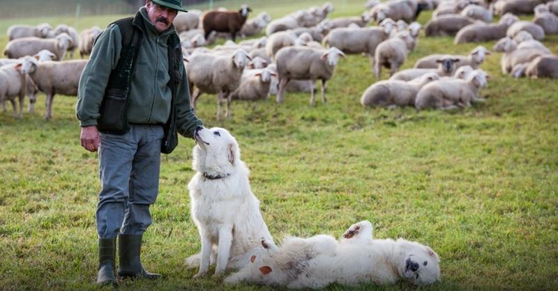 Herdenhund, Schafe, Hirte, Weide, © Christoph Schmidt - dpa