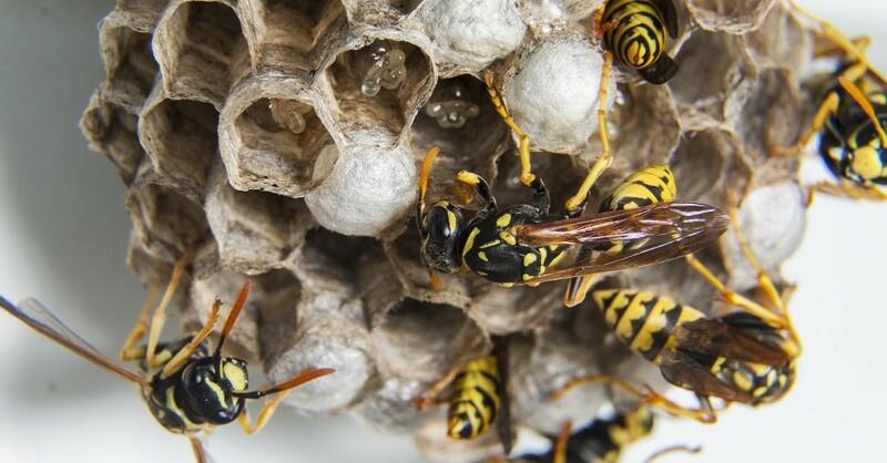 Wespen, Nest, © Pixabay (Symbolbild)
