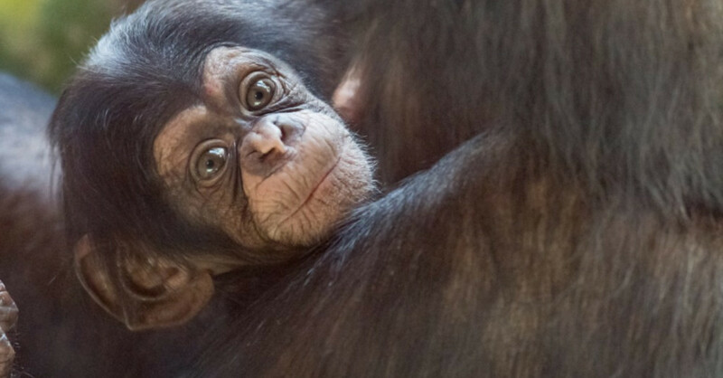 Schimpanse, Affen, Basel, Zoo, Zolli, Nachwuchs, © Zoo Basel