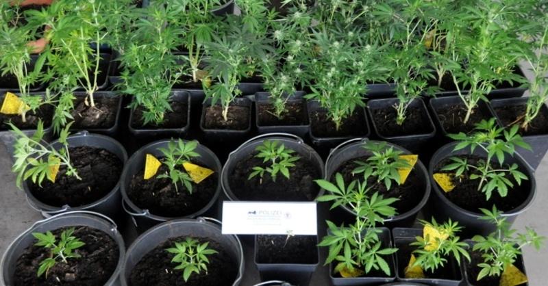 Hanf, Marihuana, Cannabis, © Polizeipräsidium Offenburg (Symbolbild)
