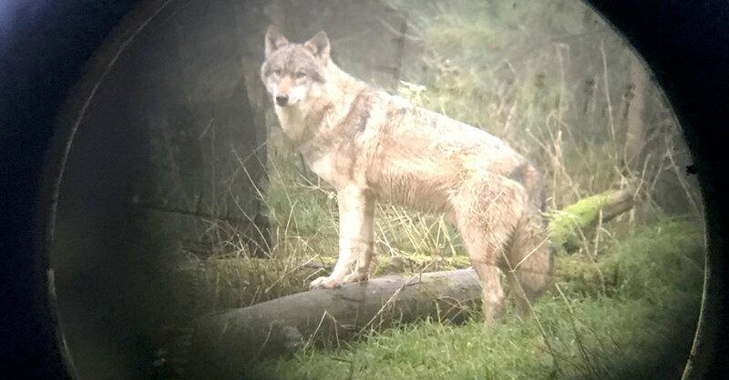 Wolf, Fernrohr, Zielscheibe, Visier, © Carsten Rehder - dpa (Symbolbild)