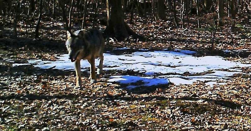 Wolf, Fotofalle, Aargau, Schweiz, © Departement Bau, Verkehr & Umwelt - Kanton Aargau