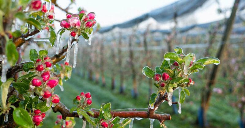 Frost, Apfelblüte, Obstbaum, Landwirtschaft, © Benedikt Spether - dpa (Symbolbild)