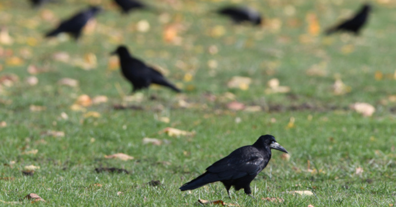Saatkrähen, Raben, Vögel, © Soeren Stache - dpa (Symbolbild)