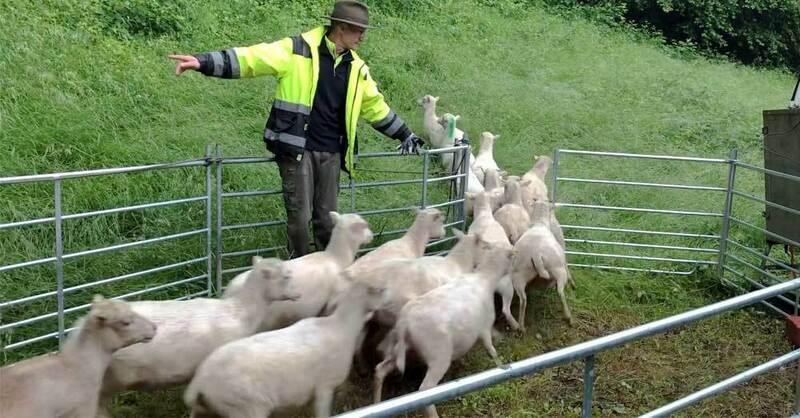 Schafe, Herde, Schäfer, Schlossberg, Freiburg, © baden.fm