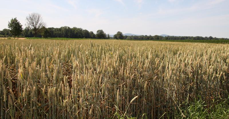 Getreide, Acker, Dietenbach, © baden.fm (Symbolbild)