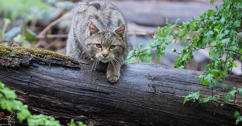 Wildkatze, Wald, © Sebastian Gollnow - dpa (Symbolbild)