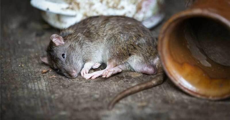 Ratte, Nagetier, Ungeziefer, Schädling, © Pixabay (Symbolbild)
