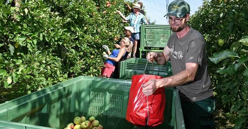 Apfel, Ernte, Obst, Bauern, Landwirtschaft, © Felix Kästle - dpa (Symbolbild)